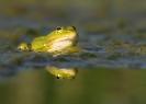 żaba wodna (Rana esculenta) ::