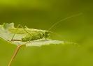 pasikonik zielony (Tettigonia viridissima) ::