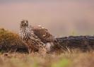 jastrząb (Accipiter gentilis)  ::