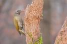 dzięcioł zielonosiwy (Picus canus)  ::
