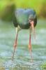 bocian czarny (Ciconia nigra) ::