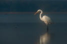 czapla biała (Ardea alba) ::