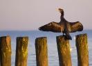 kormoran (Phalacrocorax carbo) ::