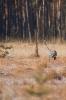 żuraw (Grus grus)  ::