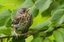 drozd śpiewak (Turdus philomelos)  ::