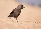 kawka (Corvus monedula)  ::