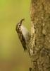 pełzacz leśny (Certhia familiaris) ::