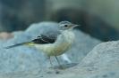 pliszka górska (Motacilla cinerea) ::