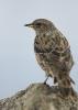płochacz halny (Prunella collaris) ::