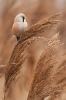 wąsaka (Panurus biarmicus) ::
