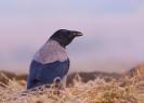 wrona siwa (Corvus cornix) ::