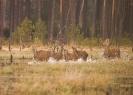 jeleń szlachetny (Cervus elaphus) ::