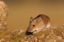 mysz polna (Apodemus agrarius) ::