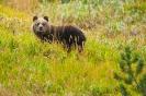 niedźwiedź brunatny (Ursus arctos) ::