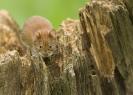 nornica ruda (Myodes glareolus) ::