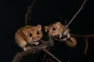 orzesznica (Muscardinus avellanarius) ::