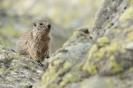świstak tatrzański (Marmota marmota latirostris) ::