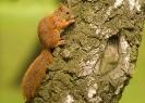 wiewiórka pospolita (Sciurus vulgaris) ::