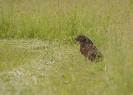 zając szarak (Lepus europaeus) ::