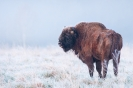 żubr (Bison bonasus) ::